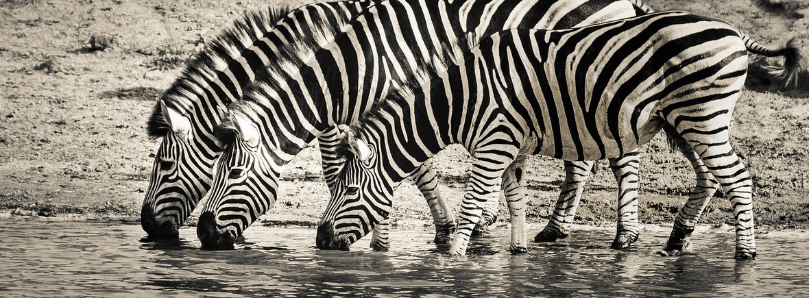 where to see zebras, wildside, world wild web