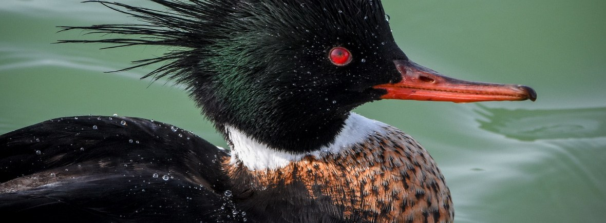 where to see red-breasted mergansers, wildside, world wild web
