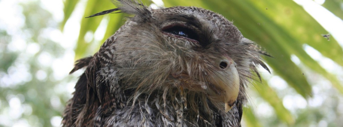 where to see barred eagle owls wildside world wild web