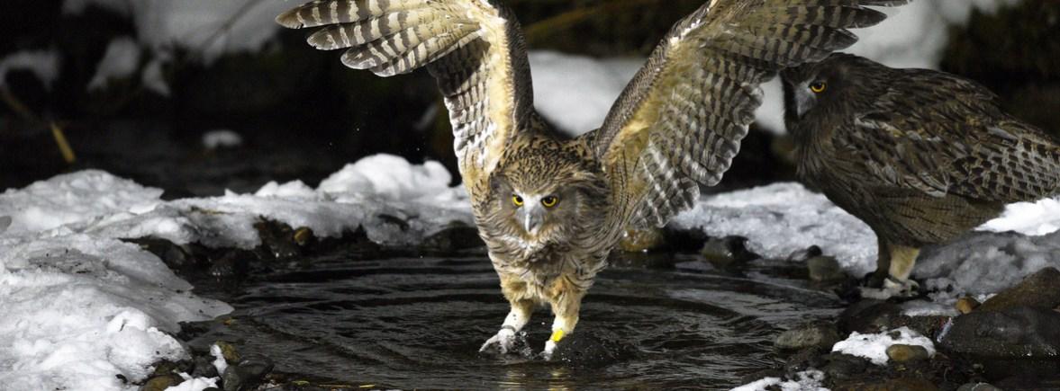 where to see blakiston's fish owls, wildside, world wild web