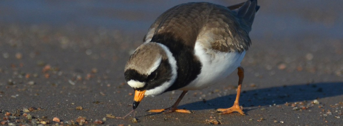where to see ringed plovers, wildside, world wild web