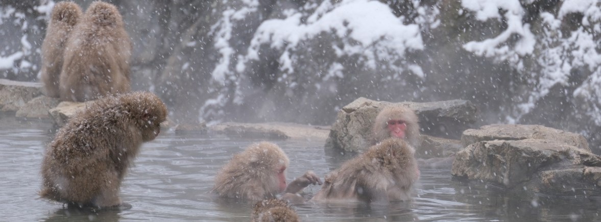 wildlife in jigokudani, wildside, world wild web