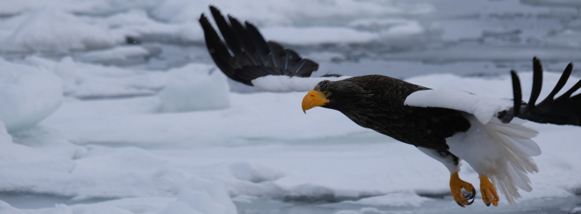 where to see Steller's sea eagles, wildside, world wild web