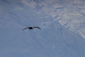 andean condor, los glaciares, wildside, world wild web