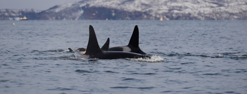 swimming with orcas, wildside, world wild web