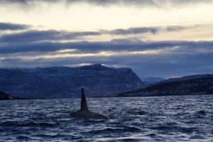orcas skjervoy, wildside, world wild web