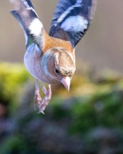 chaffinch wildside world wild web
