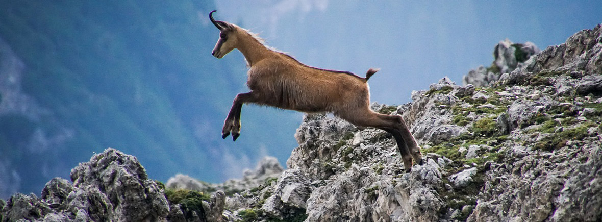 where to see chamois, wildside, world wild web