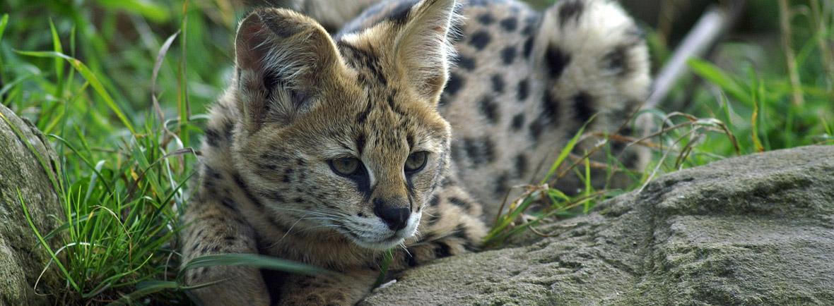 where to see servals, wildside, world wild web