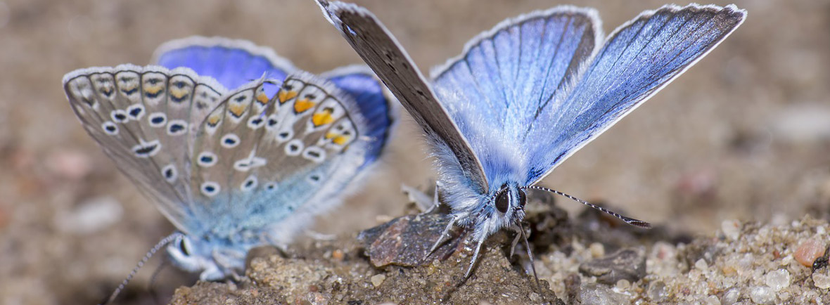 where to see silver-studded blues, wildside, world wild web