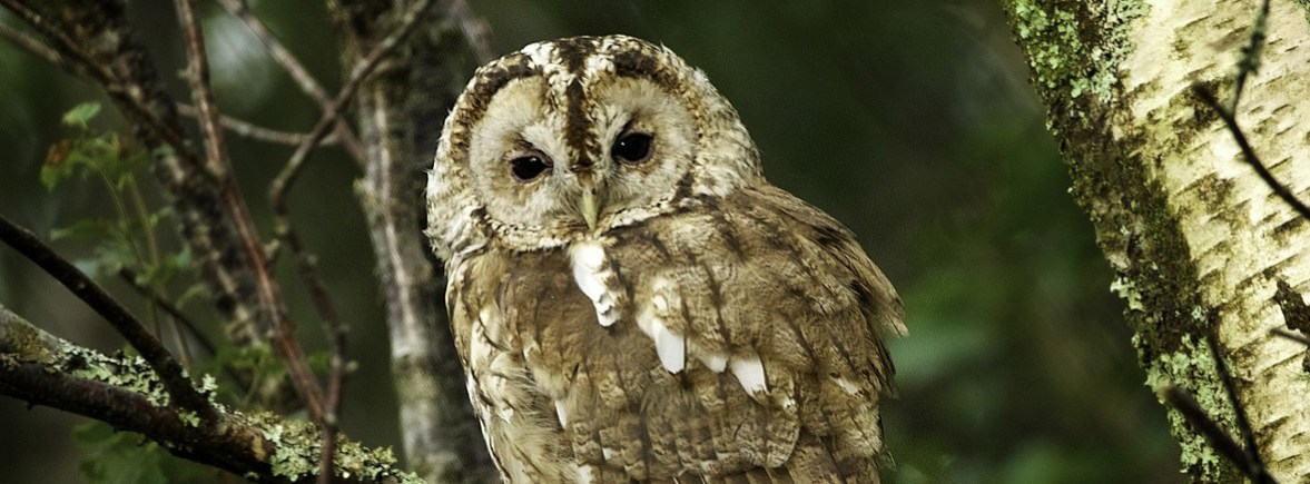 where to see tawny owls, wildside, world wild web