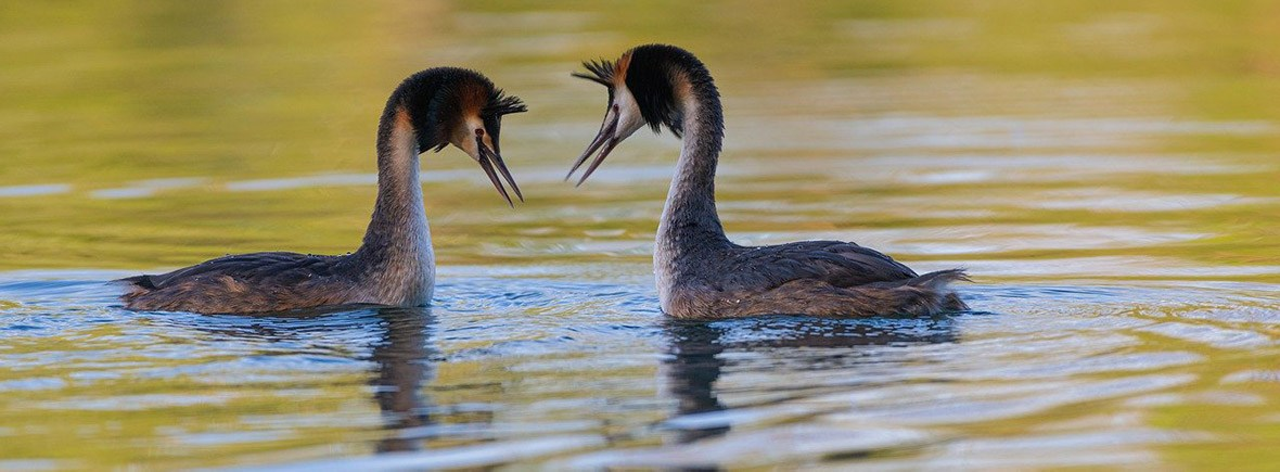 where to see great crested grebes wildside world wild web