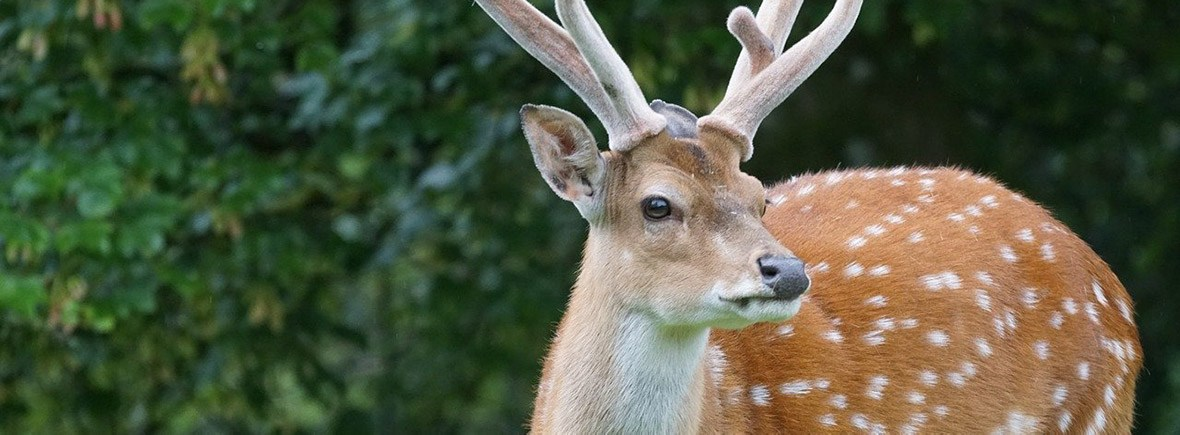where to see sika deer, wildside, world wild web