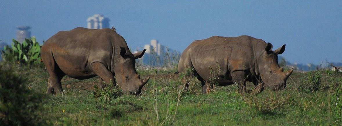 wildlife in nairobi national park wildside world wild web