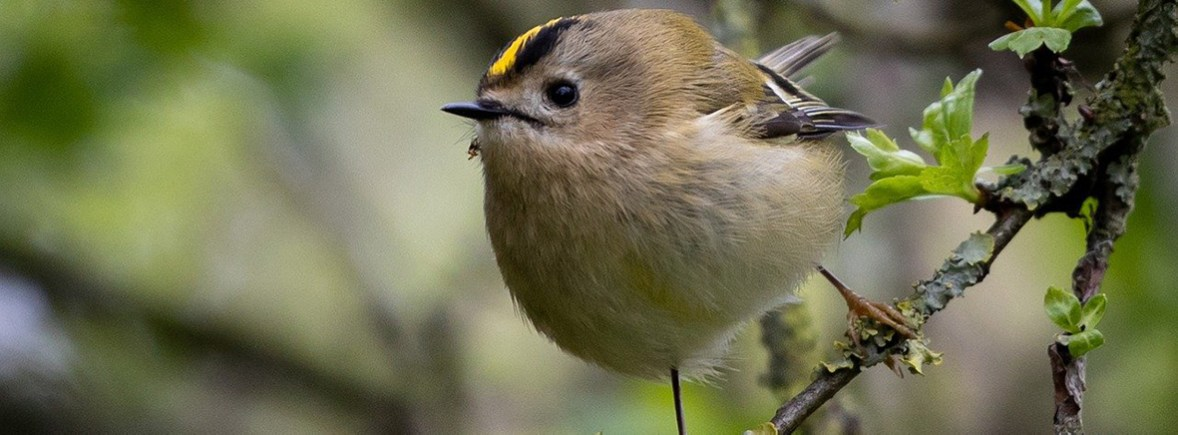 where to see goldcrest, wildside, world wild web