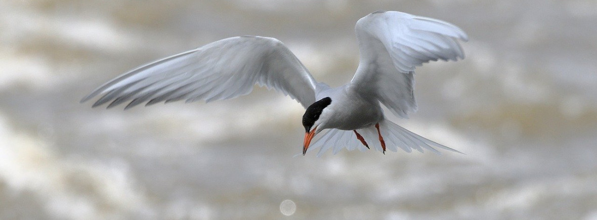 where to see common terns, wildside, world wild web