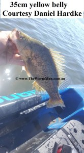 35cm yellow belly - Courtesy Daniel Hardke  - Fish Caught Using My Bait Worms