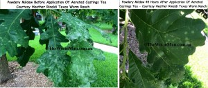 Powdery Mildew Before And After Aerated Castings Tea Application
