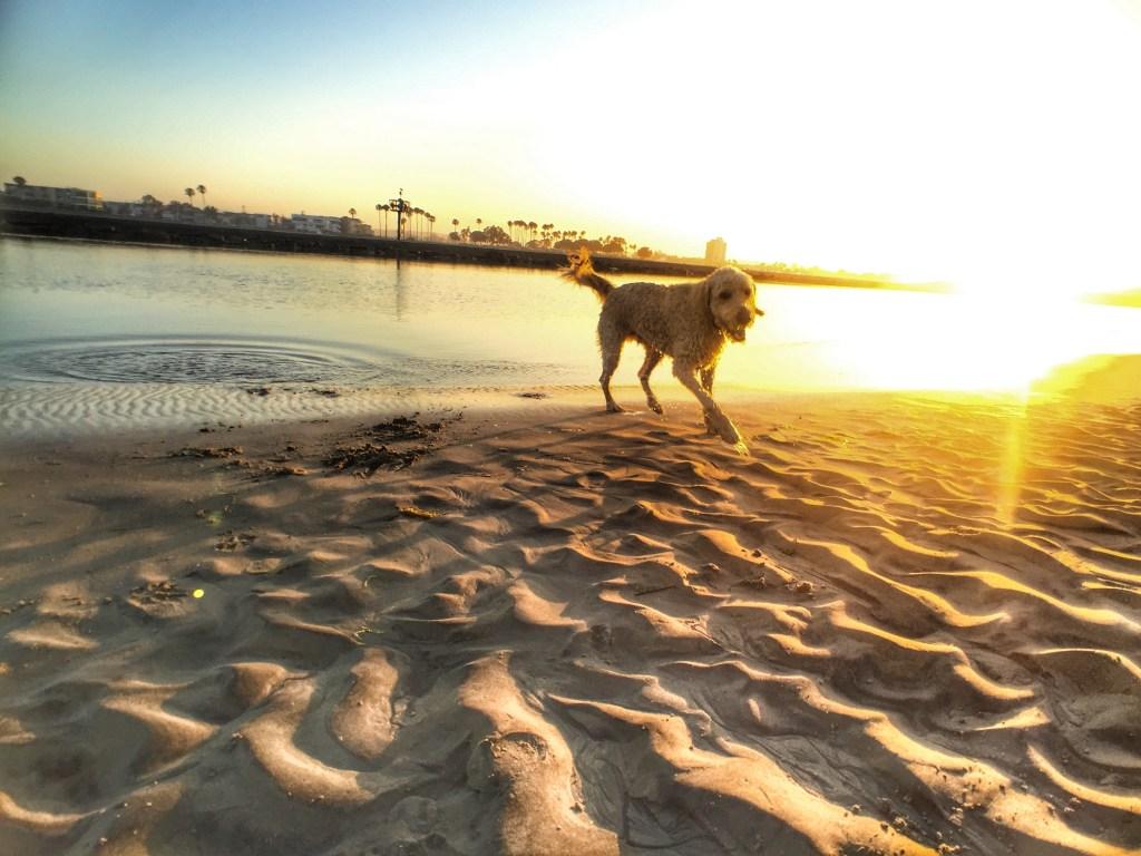 Dog at Dog Beach