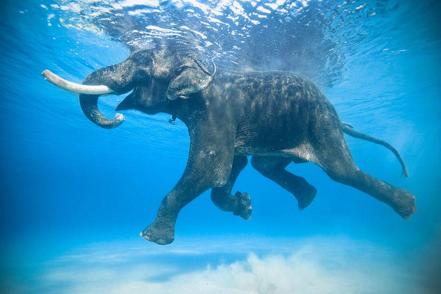 14-elephant-underwater-photography