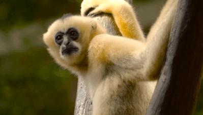 Minnesota Zoo Funding Proposal Video monkey business