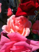 roses from my front yard
