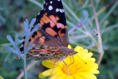 A Painted Lady butterfly, stopping a moment to rest as I was taking close-up photos of the flower