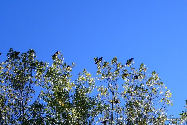 a murder of crows gathered in the crown of the cottonwood tree