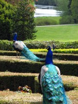 peacocks at warwick castle