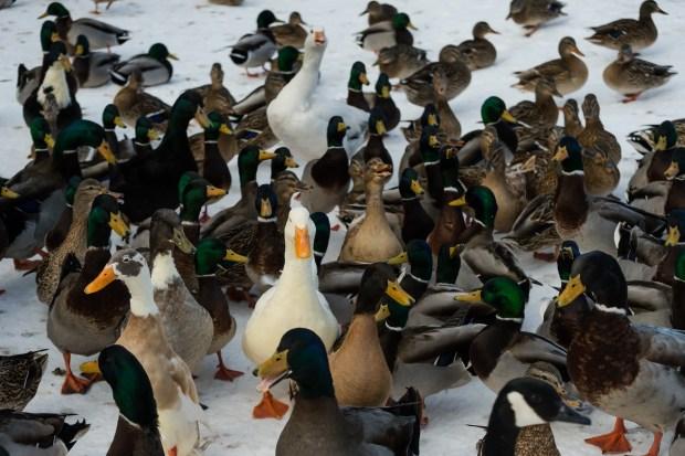 Woodland Park Ducks - 10