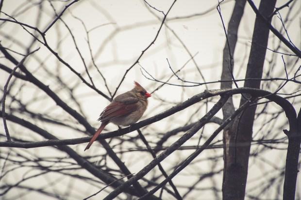 Winter Cardinals - 7