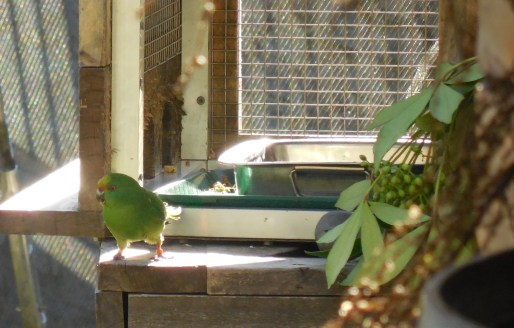 An orange-fronted parakeet, which we haven't seen in the wild.