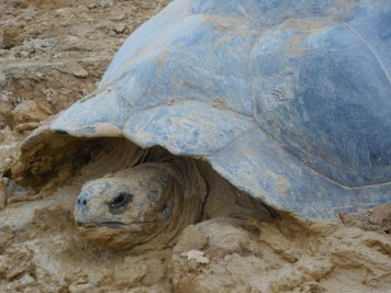 The Galapagos tortoise was still wallowing in the mud.