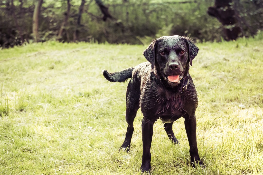 Black Labrador | A New Lens Brings New Love For Photography | The Yorkshire Dad of 4