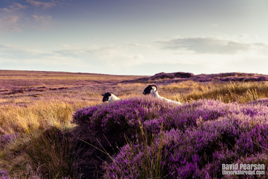 Sheep in the heather on the North York Moors | Evening Walk on Glaisdale Moor | The Yorkshire Dad of 4