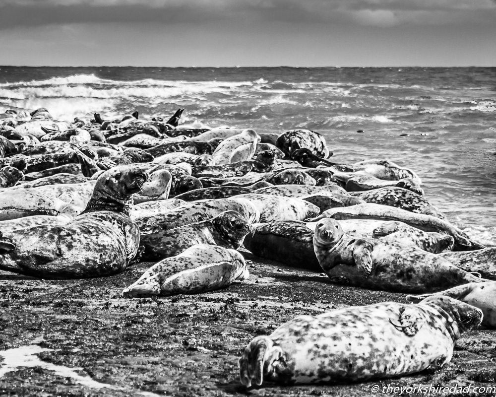 Seals on the rocks at Ravenscar | The Yorkshire Dad of 4