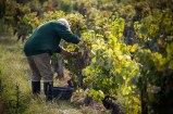 The Lord of the vineyard still picks the grapes by hand.