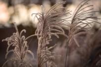 IMGL2176_Bottle Brush Grass