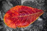 Bright Red Leaf.