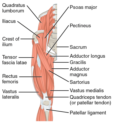 diagram of the muscles of the hip and thigh