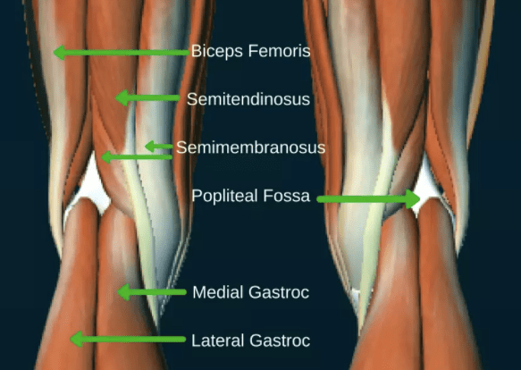 diagram of muscles behind the knee