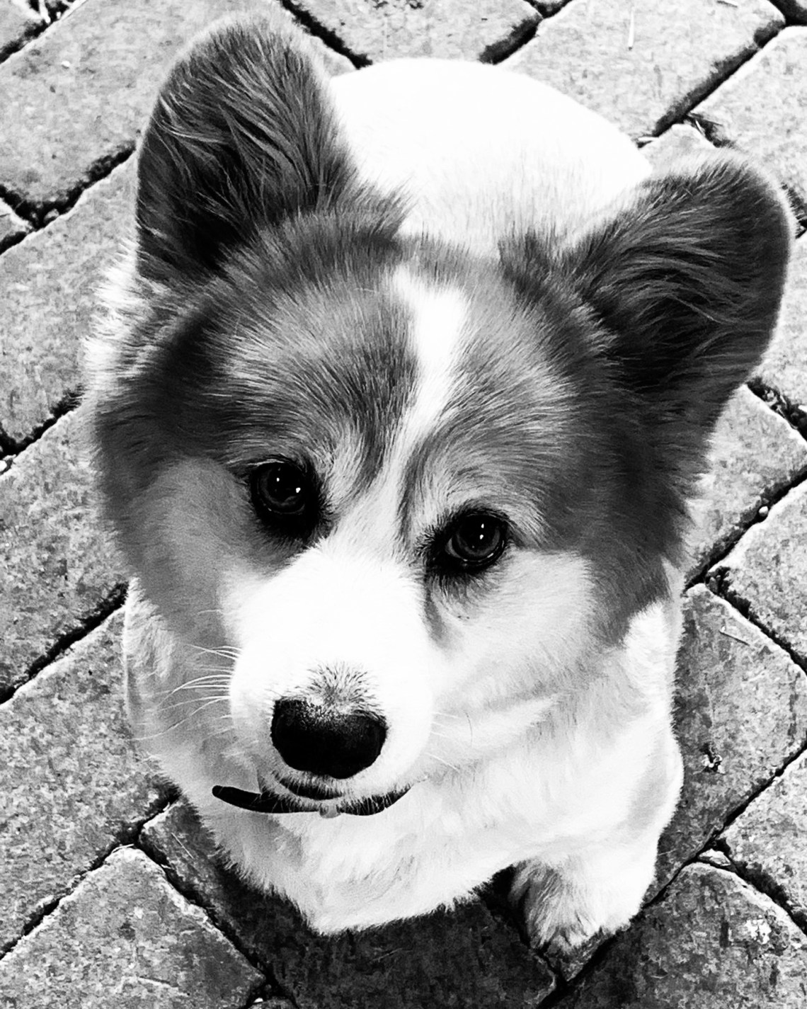 The Zookeepers Companion, corgi