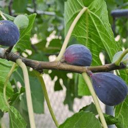 'LSU Purple' Fig
