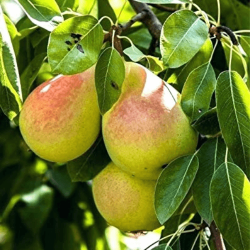'Moonglow' Pear