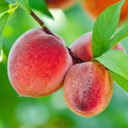 'Redskin' Peach