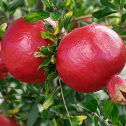 'Wonderful' Pomegranate