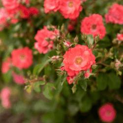 Coral Drift Rose