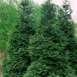 Arborvitae