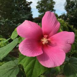 Big Hit Pink Hibiscus