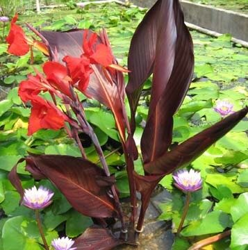 Water Canna